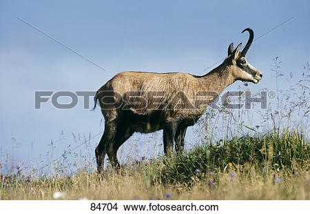 Stock Photo of chamois.