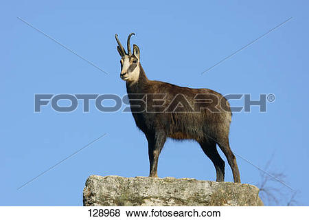 Pictures of chamois.