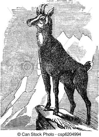 EPS Vector of Chamois, or Antilope rupicapra vintage engraving.