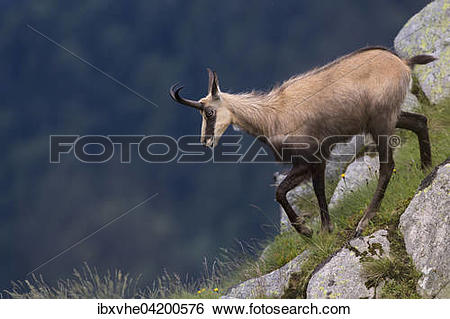 Stock Images of Chamois (Rupicapra rupicapra) on steep slopes.