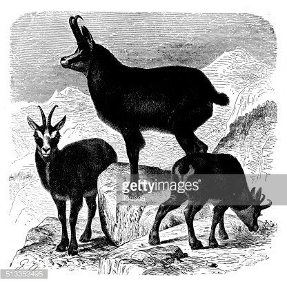Antique Illustration of Chamois (rupicapra Rupicapra) premium.