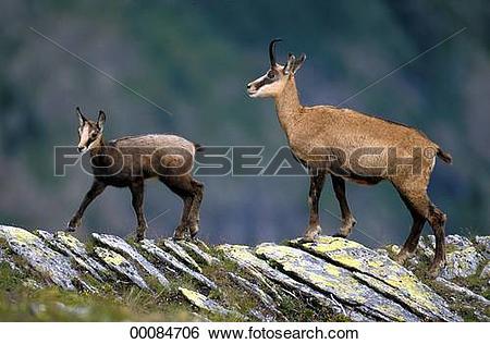 Stock Images of Juniors, Rupicapra, Rupicapra rupicapra, animal.