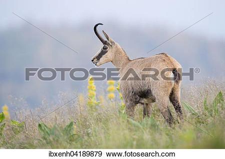 Stock Photograph of Chamois (Rupicapra rupicapra), Vosges, Alsace.