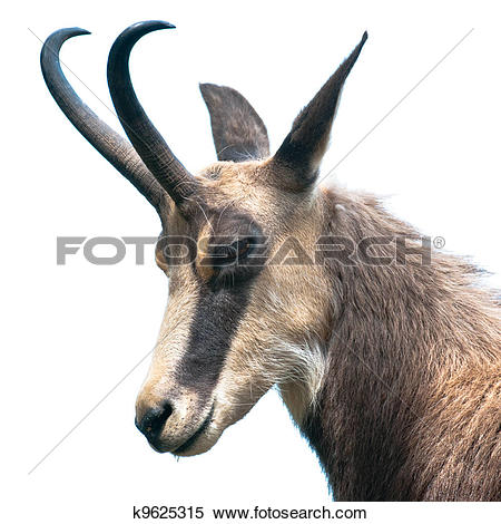 Stock Image of head of chamois (lat. rupicapra rupicapra) isolated.