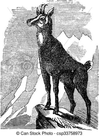 Vectors Illustration of Chamois, or Antilope rupicapra vintage.