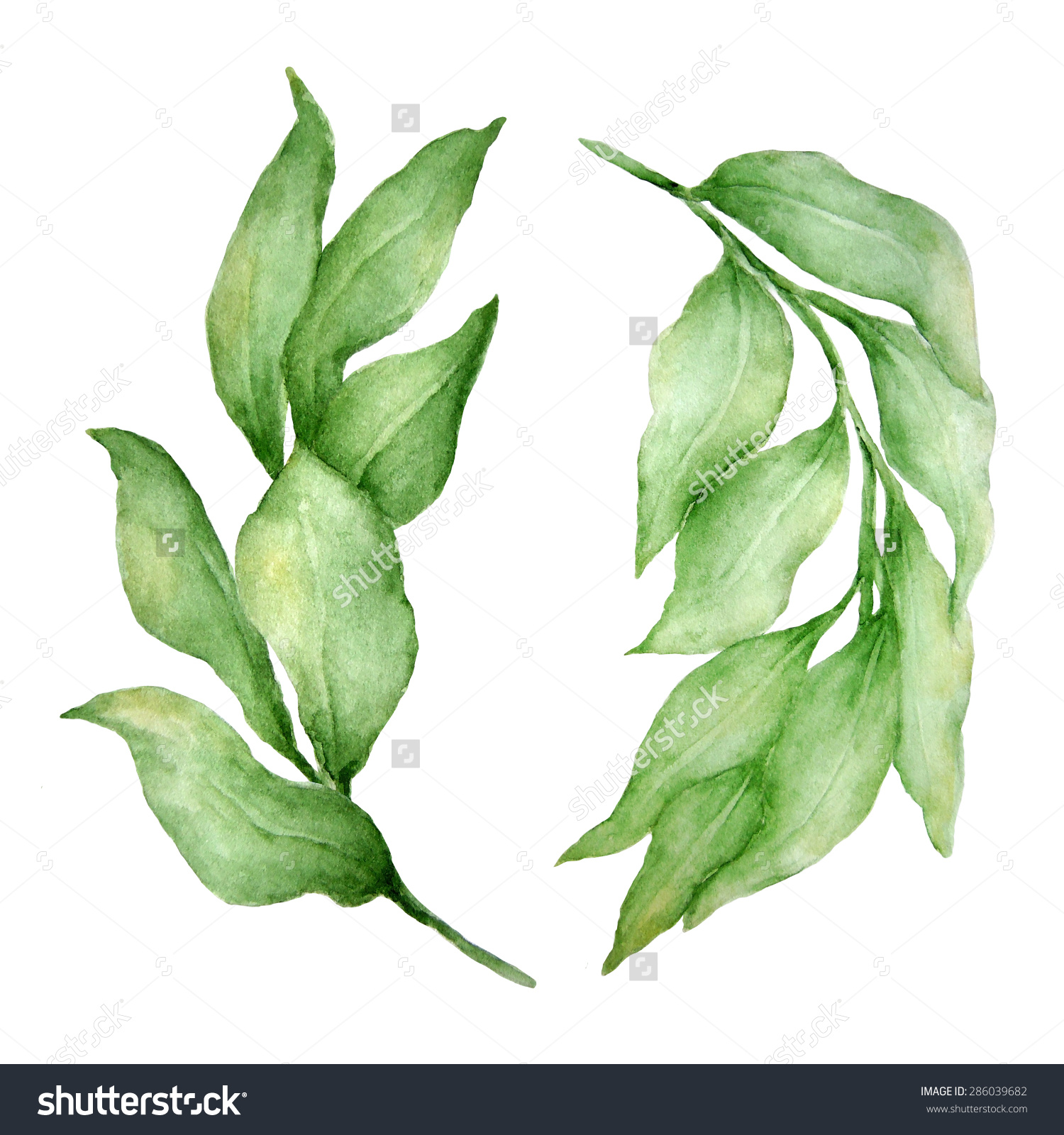 Watercolor Hand Drawn Ruscus Leaves Ideal Stock Illustration.