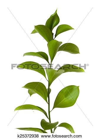 Pictures of Ruscus hypophyllum, Spineless Butcher's Broom.