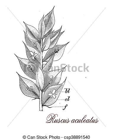 Drawing of Ruscus aculeatus, botanical vintage engraving.