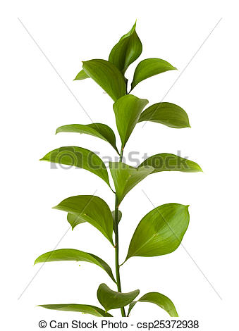 Stock Photos of Ruscus hypophyllum, Spineless Butcher's Broom.