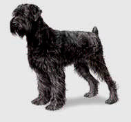 Black Russian Terrier Litter Size.