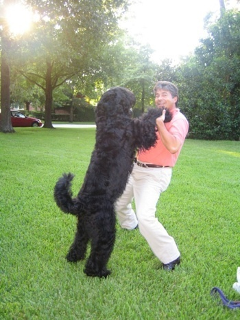 25+ best Black Russian Terrier trending ideas on Pinterest.