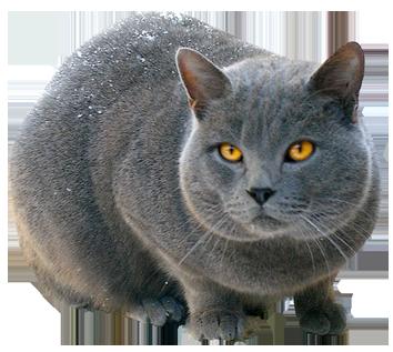 Kitten Clip Art Russian blue cat clipa...