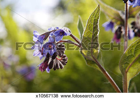 Pictures of Russian Comfrey (Symphytum x uplandicum) x10567138.