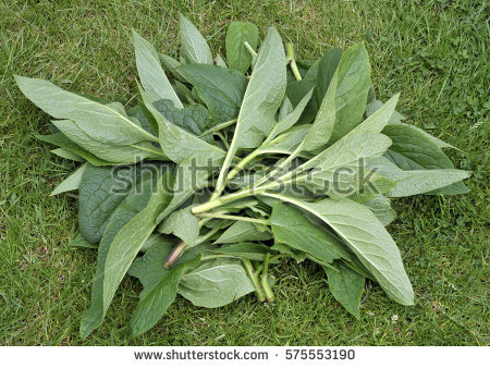 Comfrey Stock Images, Royalty.