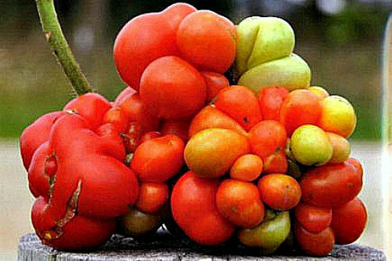Reisetomate Peruvian heirloom 10 rare seeds non GMO.