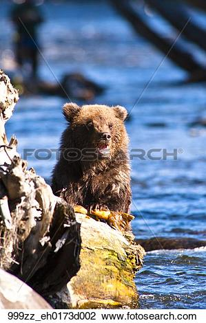 Stock Photo of Brown bear cub fishes for salmon at the Russian.