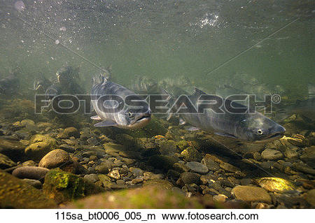 Stock Photo of Sockeye Salmon swimming up Russian River Kenai.