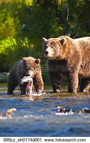 Stock Photography of Brown bear sow and cub fishing for salmon at.