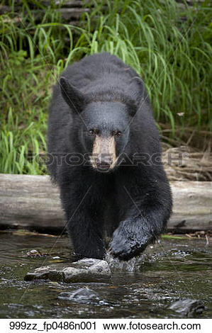 Stock Photography of A Black bear boar approaches through the.