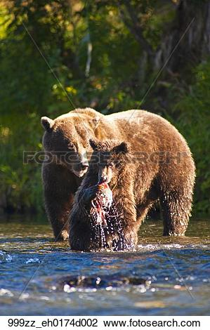 Stock Photo of Brown bear sow and cub fishing for salmon at the.