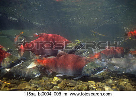 Stock Photo of AK Southcentral Sockeye Red Salmon Underwater.