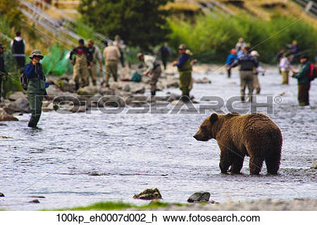 Stock Photo of A Brown Bear fishing for salmon on the Russian.