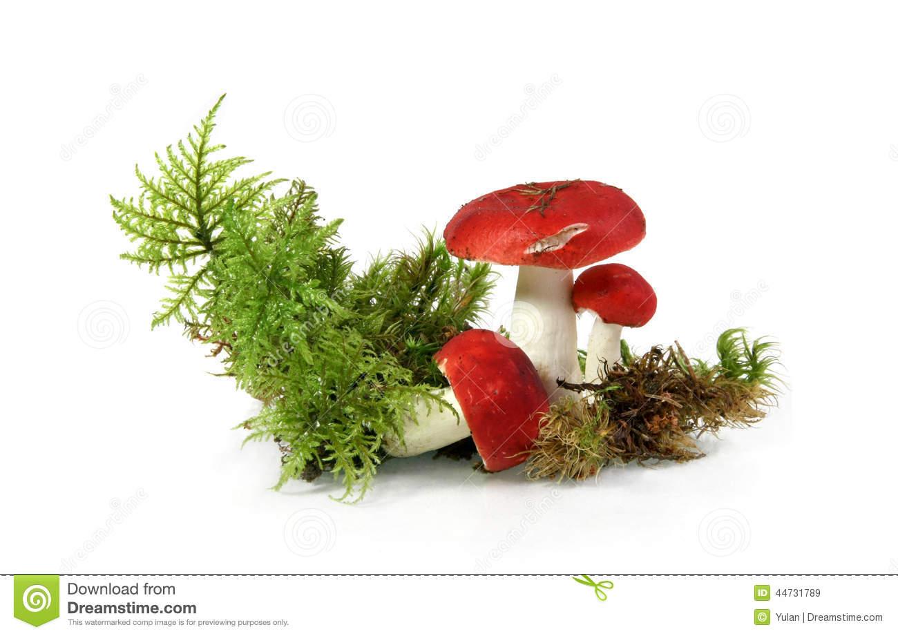 Red Russula Mushroom.