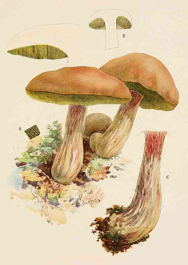 The Project Gutenberg eBook of Our Edible Toadstools and Mushrooms.