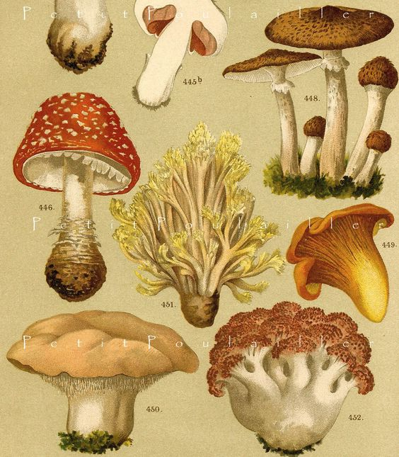 botanical illustration mushroom.