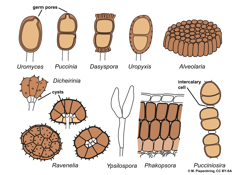 File:03 04 03 teliospores of rust fungi, Pucciniales Basidiomycota.