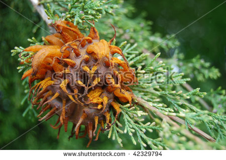 Rust Fungus Stock Images, Royalty.