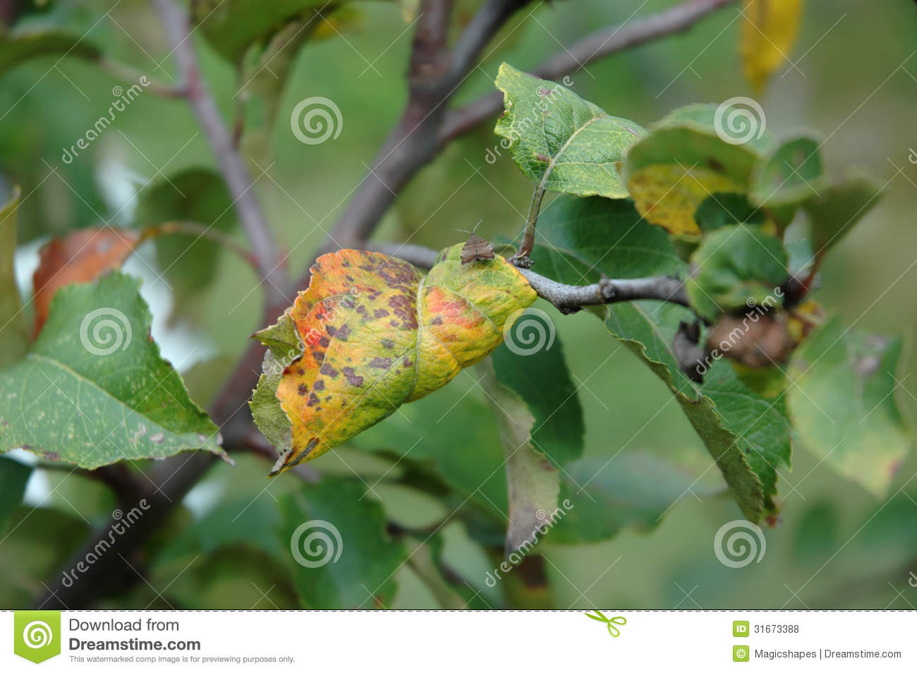 Plum Rust Disease On Leaves Royalty Free Stock Photography.