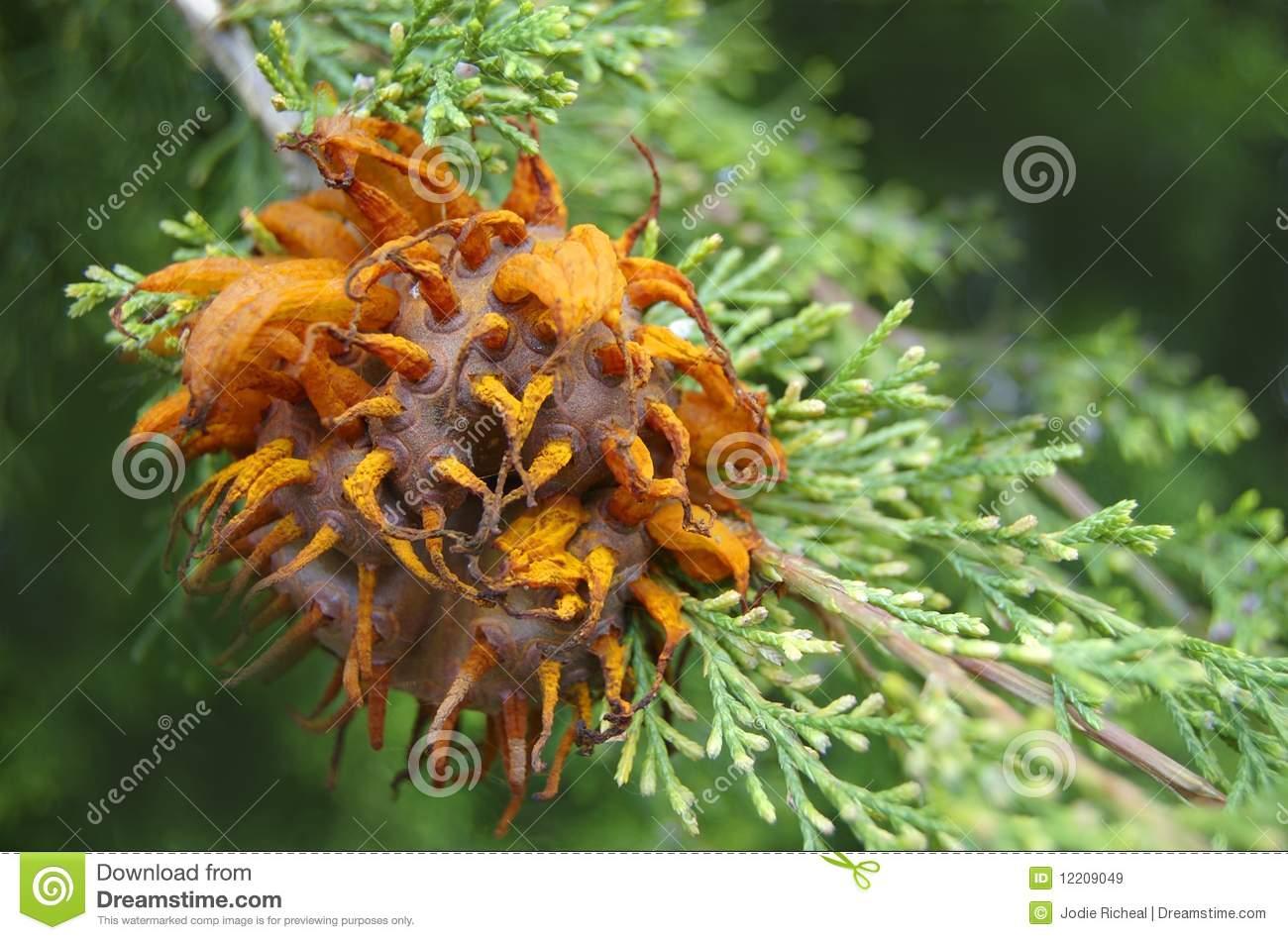 Cedar Apple Rust Fungus Royalty Free Stock Images.