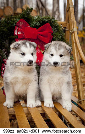 Stock Photography of Siberian Husky puppies in traditional wooden.