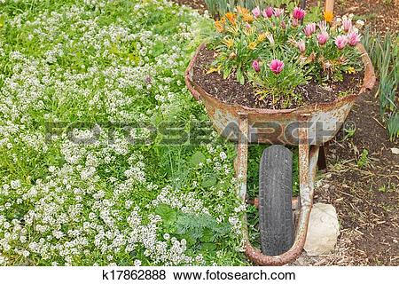 Pictures of Old rusty wheelbarrow used as a decorative flower bed.