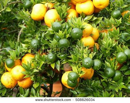 Rutaceae Banco de imágenes. Fotos y vectores libres de derechos.