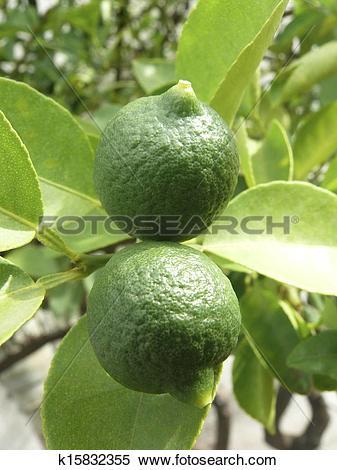 Stock Image of Lemon on Plant, Limon, Rutaceae k15832355.