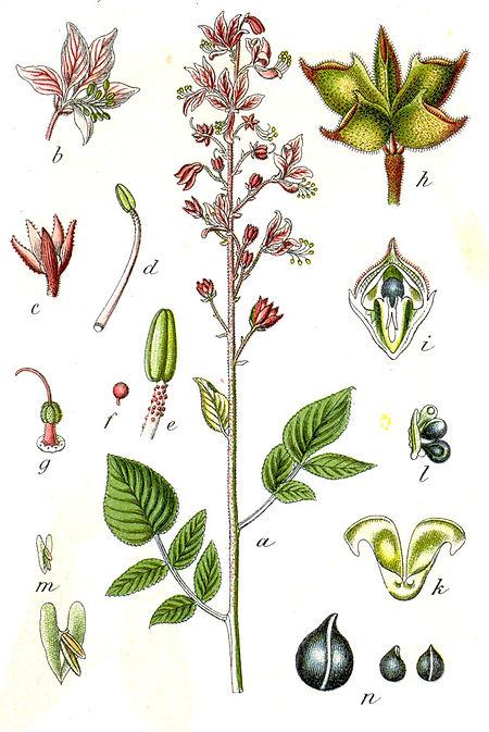 Rutaceae.