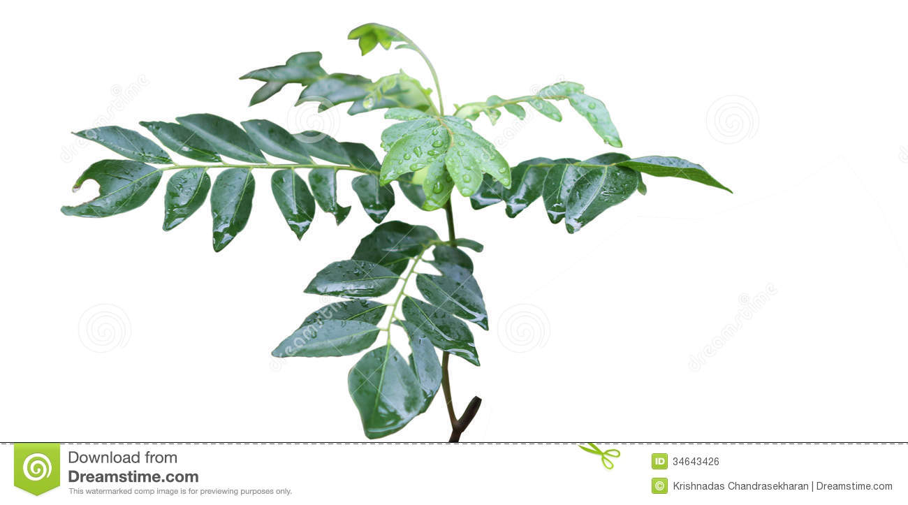Indian Curry Leaves Royalty Free Stock Image.
