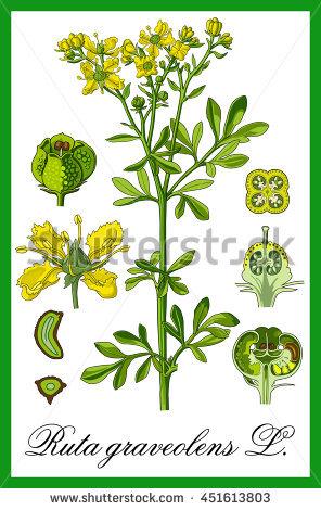 Rutaceae Stock Photos, Royalty.