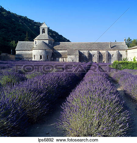 Stock Photo of rows of blossoming lavender and senanque abbey 12th.