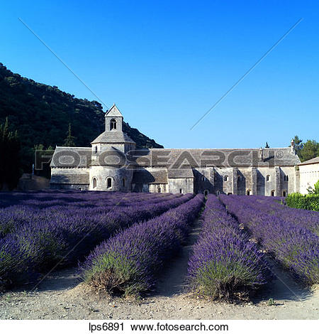 Stock Photography of rows of blossoming lavender and senanque.