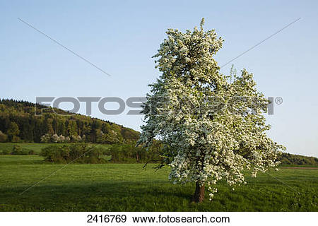 Stock Photograph of Blossoming cherry tree, near Solden; Black.