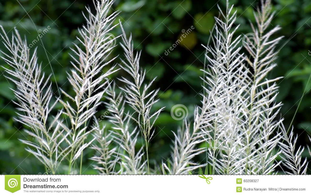 Kans Grass (Saccharum Spontaneum) Moving Freely In Autumn Air.