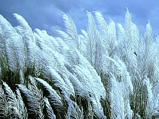Kans grass (Saccharum spontaneum).