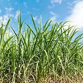 Stock Photograph of Saccharum spontaneum, Kans grass k15048459.