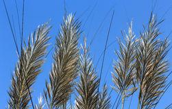 Autumn Kans Grass Saccharum Spontaneum With Sky Background Stock.