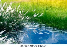 Stock Images of Saccharum spontaneum, Kans grass csp15048459.