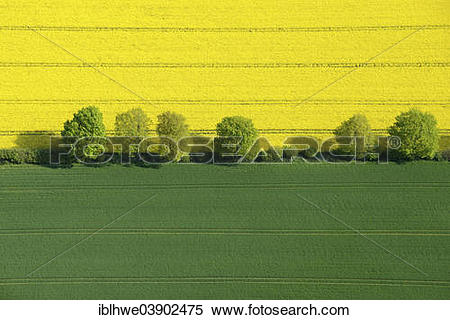 """Stock Image of """"Hedgerow landscape with fields of rape, aerial."""