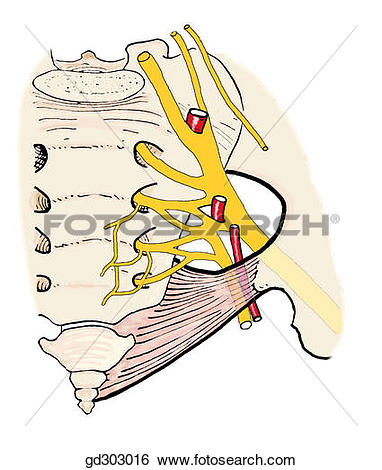 Stock Illustration of Sacral nerve plexus and related vessels.